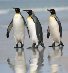 Falklands_3_Penguins.jpg