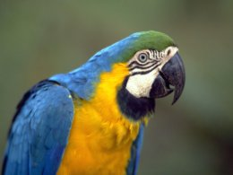 Amazon_Blue__Yellow_Parrot.jpg