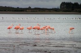 Chiloe_Flamingos.jpg