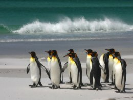 Falklands_Penguins.jpg