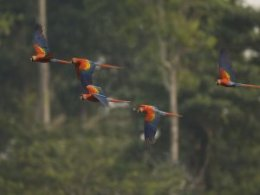 Tambopata_Flying_Parrots.jpg