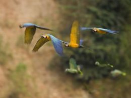 Tambopata_Research_Centre_Flying_Parrots.jpg