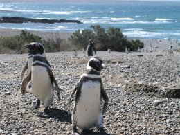 Ushuaia_Penguin_Colony.jpg