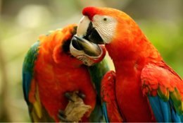 Two_Parrots_Kissing.jpg
