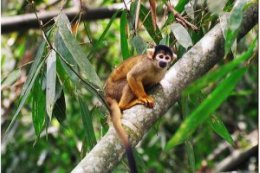 Tambopata_Squirrel_Monkey.jpg