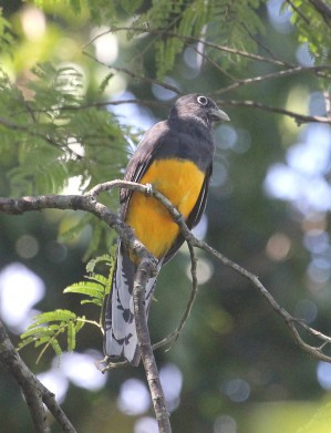Green-backed_Trogon.jpeg
